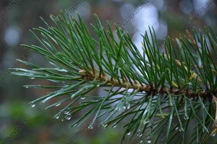 Christmas tree after rain Bundle - 3 photos