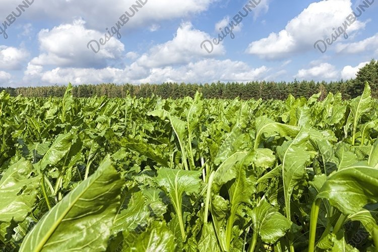 agricultural field where beets are grown example image 1