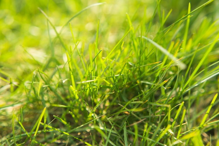 Lush green grass in the rays of the sun. Summer photo