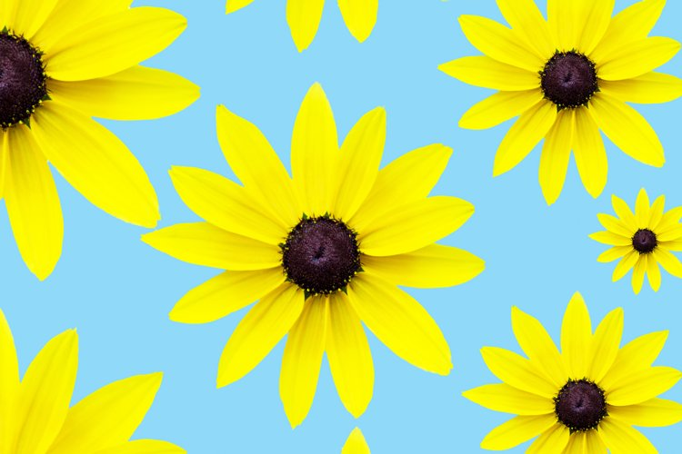 yellow chamomile on a blue background. a refreshing flower example image 1