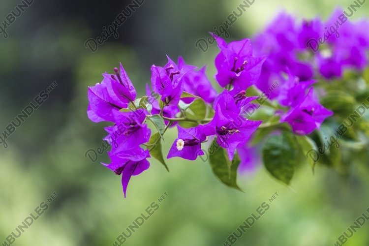 Bright pink bougainvillea flowers on blurred green backgroun example image 1