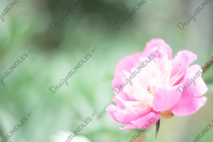 Defocused floral nature green background with pink peony example image 1