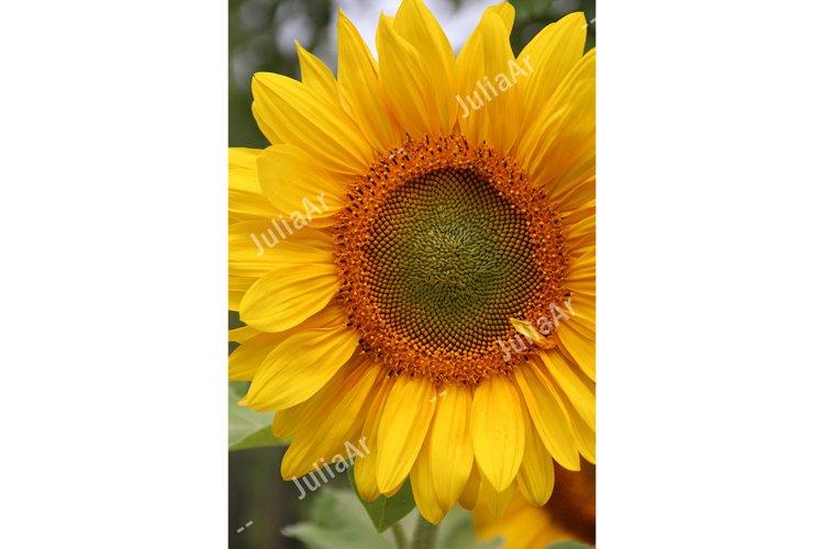 Sunflower closeup view