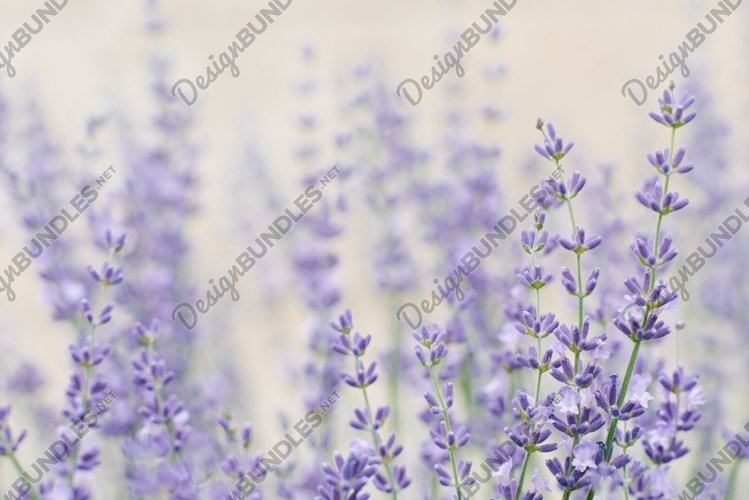 Delicate lilac lavender flowers in summer in the garden example image 1