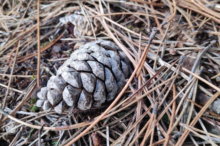 Pine cone and pine needles