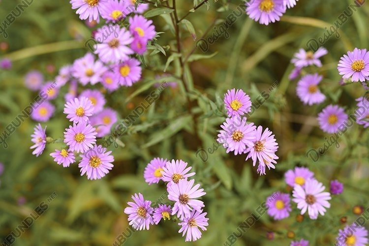 pink autumn flowers Aster novi-belgii in full bloom