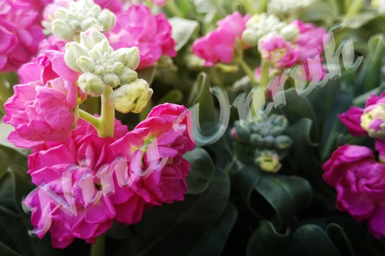 Flower of terry pink levkoy Matthiola incana,or hoary stock example image 1