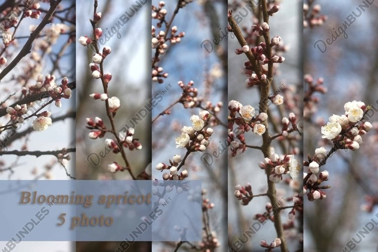 Branches of apricot with flowers and buds. example image 1