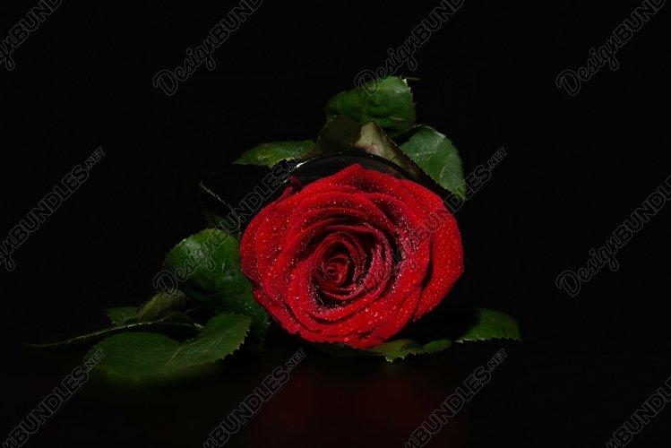 A close up macro shot of a rose