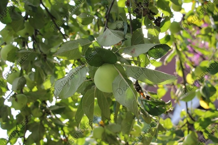 Green apples in the garden example image 1