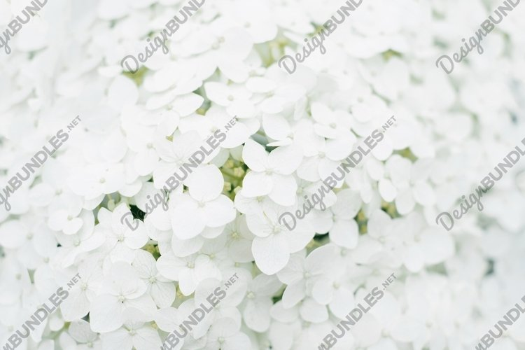 Background of white hydrangea flower in the summer example image 1