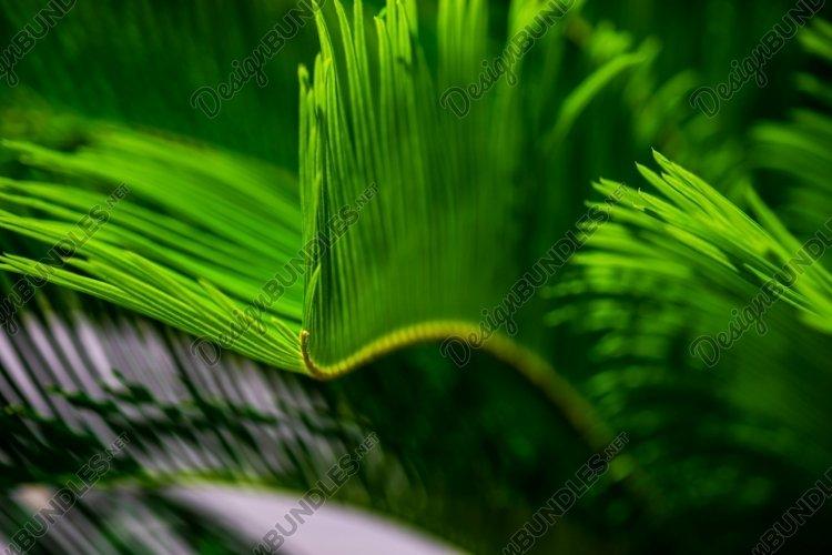 Fresh tropical leaves of Palm tree