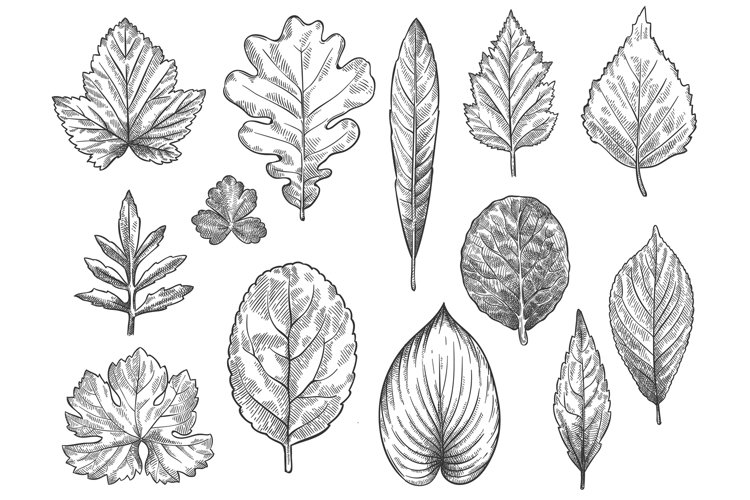 Sketch autumn leaves. Hand drawn fall foliage, forest leaf b example image 1