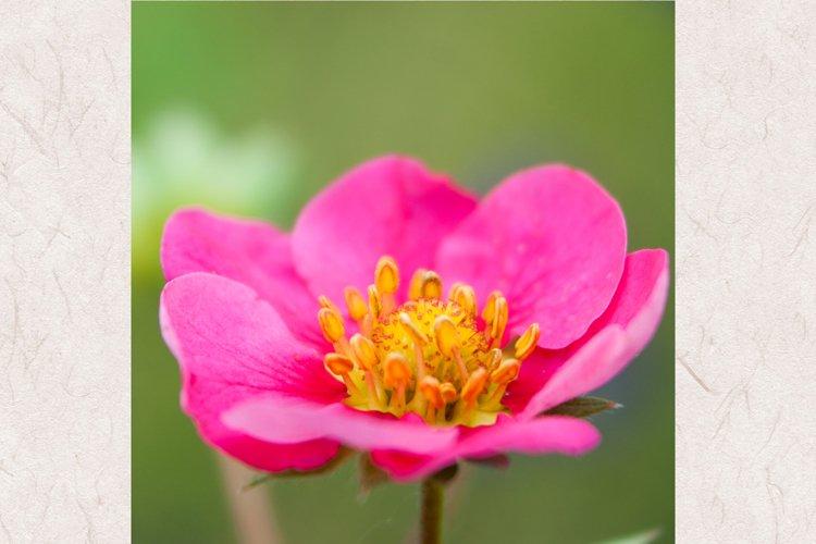 Strawberry flower photo 2 example image 1