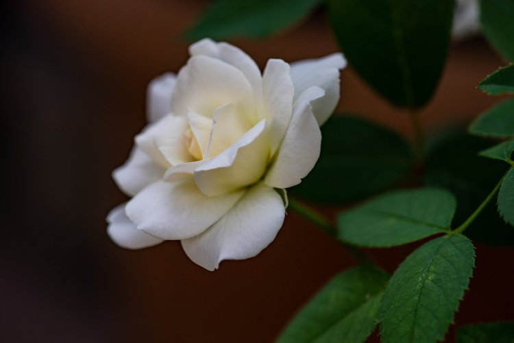 Blooming white rose in a winter garden example image 1