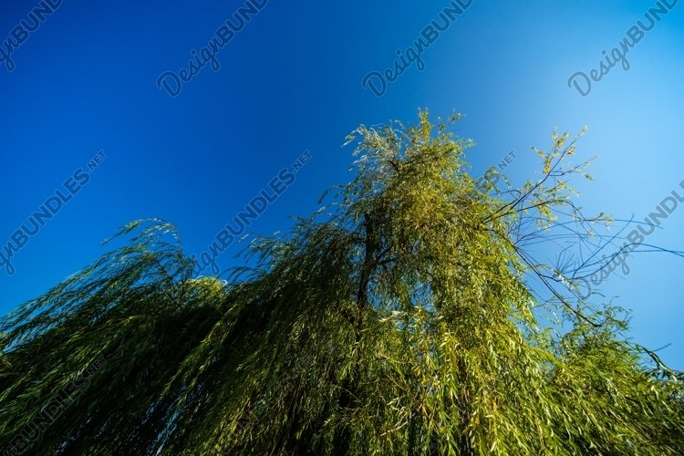 Willow tree on blue sky background example image 1