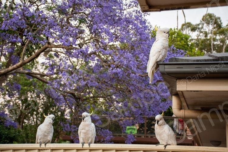 Cockatoos on a fence with jacaranda tree