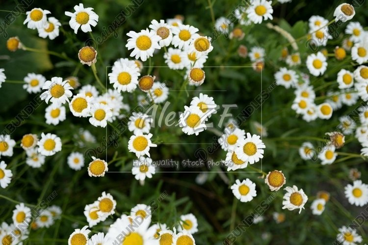 Background from daisies
