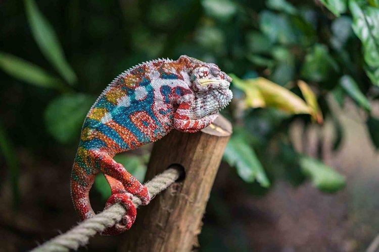 Chameleon in the Masoala Rainforest
