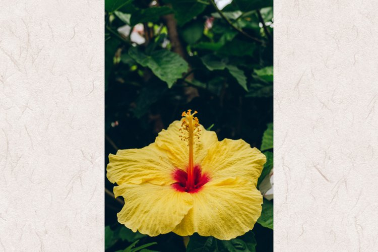 Hibiscus #14 - Yellow Tropical Flower example image 1