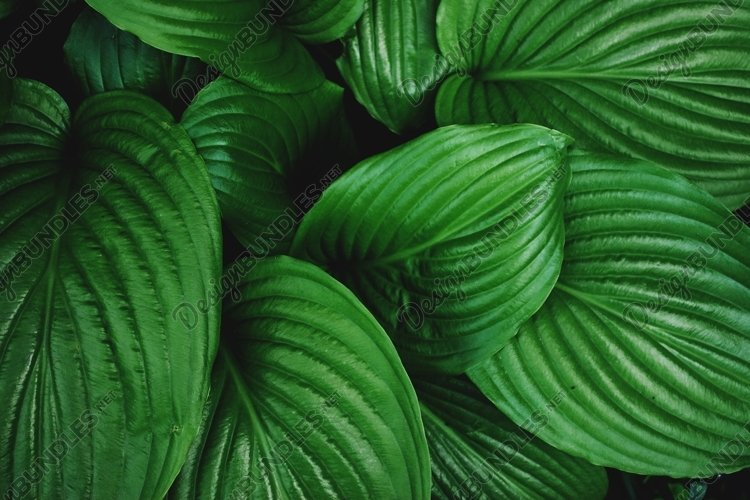 Texture of dark green tropical leaves. example image 1