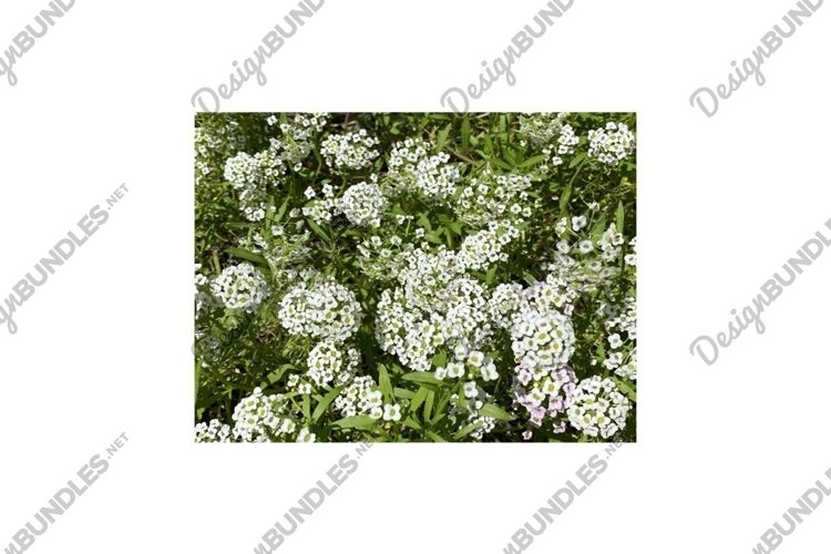 Photo of the Flower of Carpet of Snow Alyssum example image 1