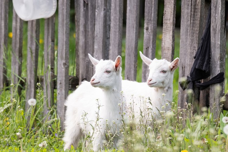 goat on grass example image 1
