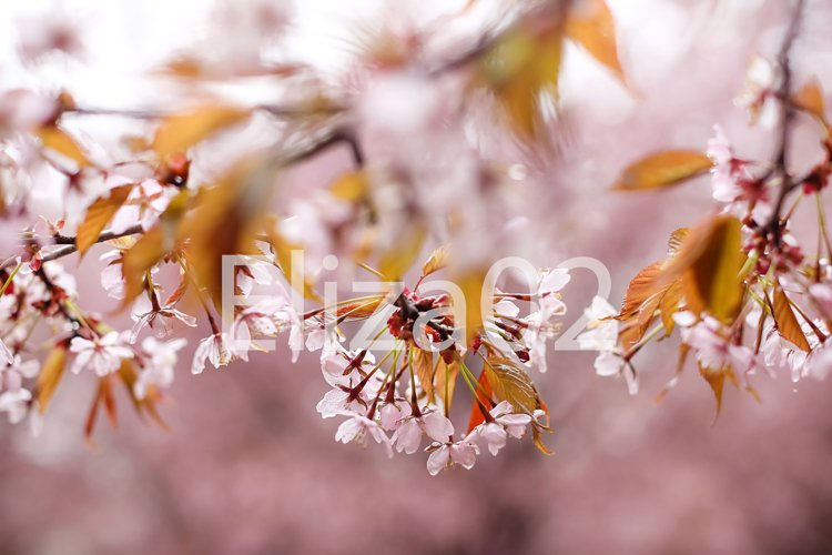 cherry blossom tree . Pink flowers example image 1