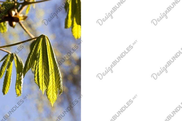 chestnut tree example image 1