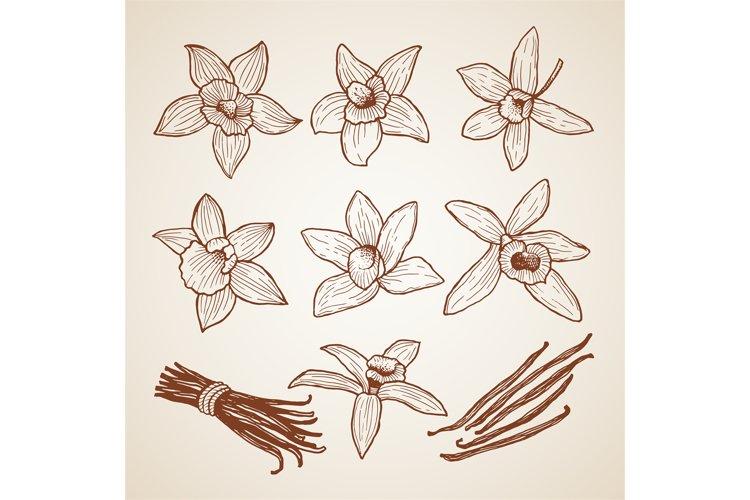 Biology illustrations. Aroma flowers of cinnamon