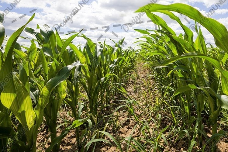 rows of green corn in Sunny weather example image 1