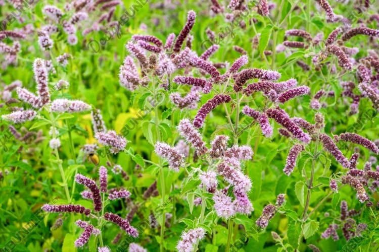 Meadow medicinal aromatic plant water mint. example image 1