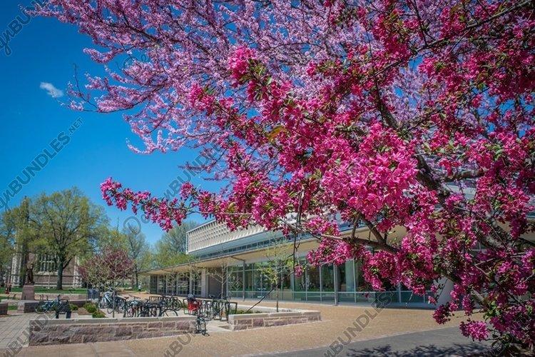 Redbud tree on campus example image 1