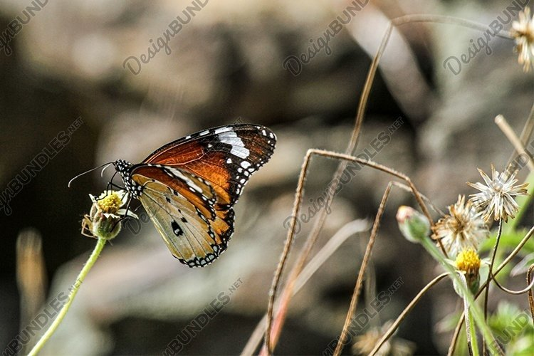 closeup of Tortoiseshell Butterfly example image 1