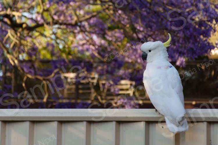 Cockatoo on a fence