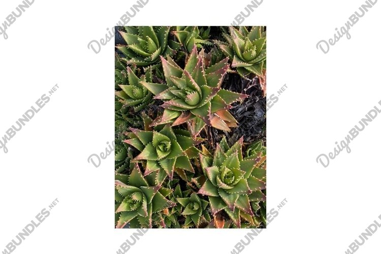 Photo of the Plant Aloe Perfoliata or Aloe Mitriformis example image 1