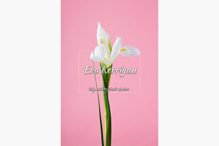 Beautiful delicate white iris flower on a green stem. example image 1