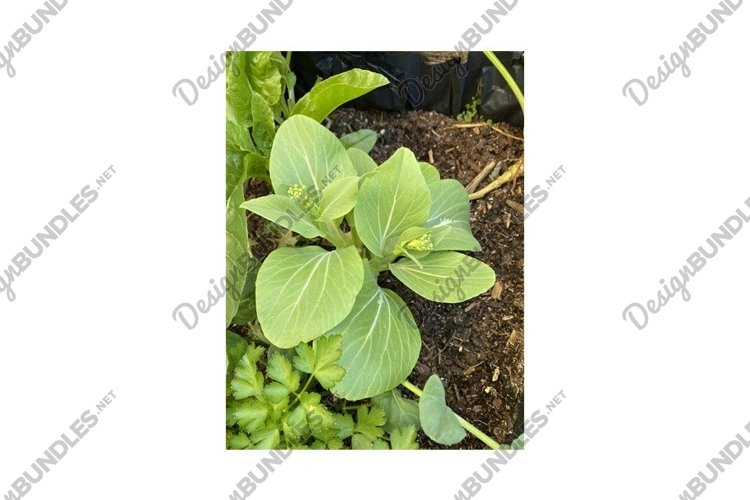 Photo of the Flower of Brassica Rapa Chinensis Bok Choy Pak example image 1