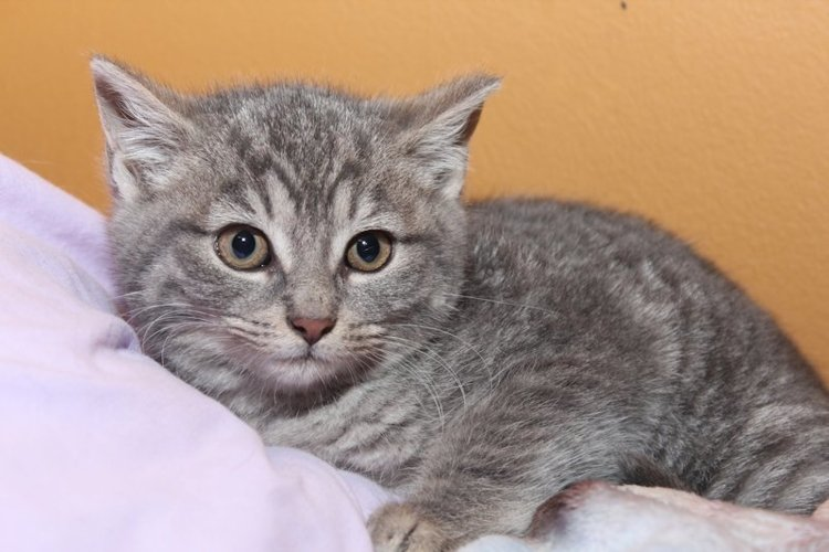 ADORABLE BROWN TABBY KITTEN example image 1
