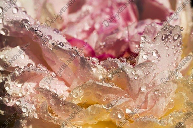 bright spring peonies example image 1