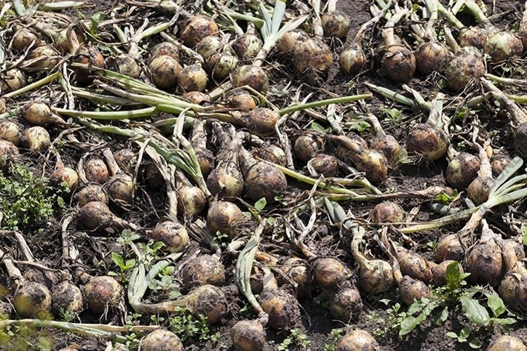 Drying onion fields example image 1