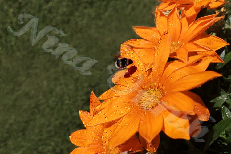Flowers of gazania with dew drops on petals with bumblebee
