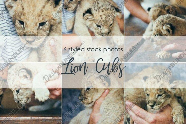 Lion Cubs. Little wild kittens in mans hands