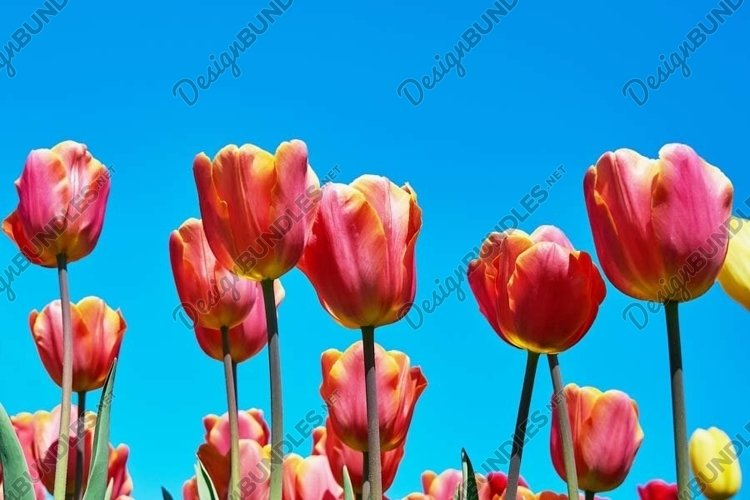 Red tulip flowers against blue sky example image 1