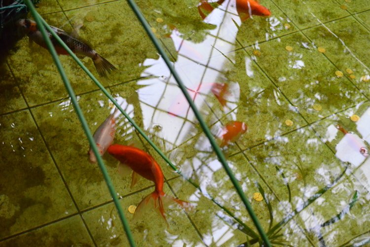 Red fish in the pool