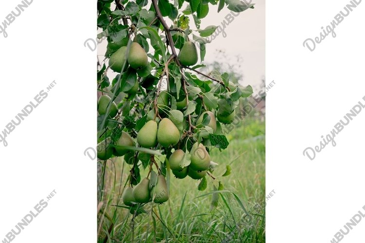 Country autumn landscape. Pear garden and sunny evening example image 1