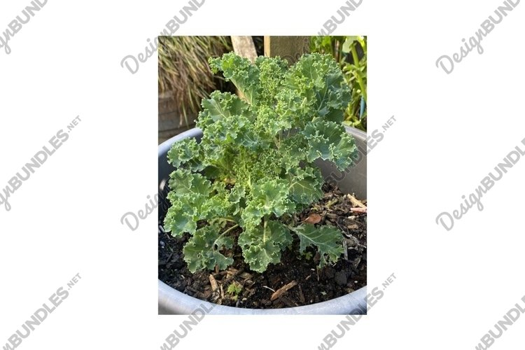 Photo of the Plant Curly Kale or Borecole example image 1