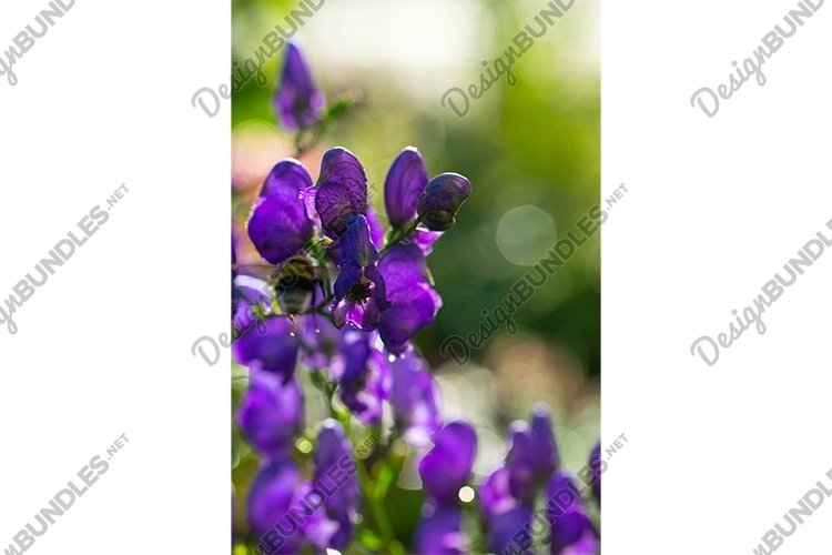 Stock Photo - Flowers of an Akonite example image 1