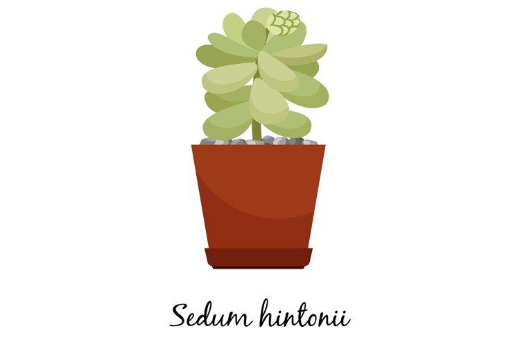 Sedum hintonii cactus in pot example image 1