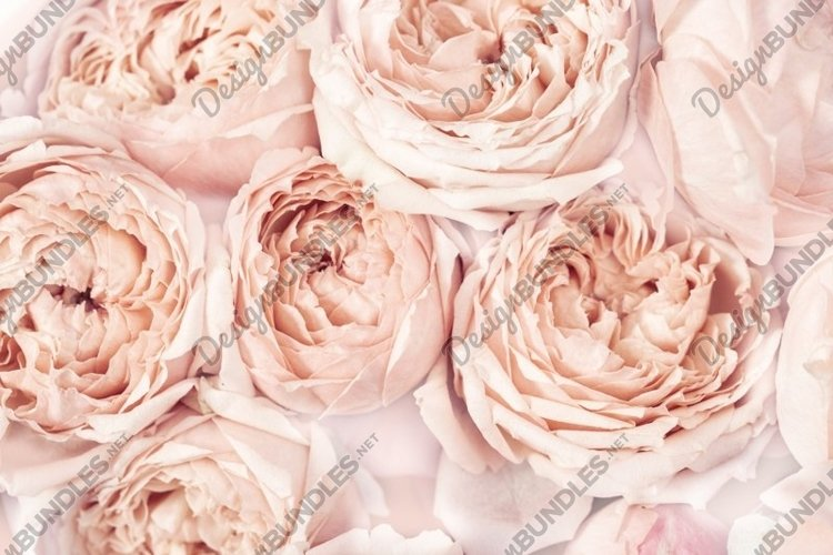 Flowers of peony roses, pink color, natural background example image 1